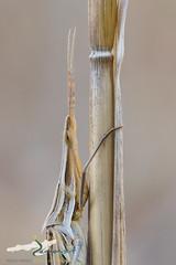 Acrida ungarica (HerpetoMagge) Tags: acrida ungarica insect insects insetti ortotteri grashopper italy maremma wildlife colours mimicry