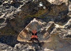 7 DSC_0022b (Pep Company - Barral) Tags: insectes animals natura papallona papallones mariposas borboletas butterfly papillon lepidopteres josep companyo barralo
