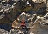 7 DSC_0022b (Pep Companyó - Barraló) Tags: insectes animals natura papallona papallones mariposas borboletas butterfly papillon lepidopteres josep companyo barralo