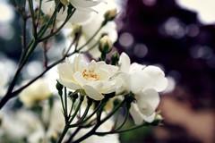 Bokeh of Roses (JaelMClay) Tags: flowers roses bokeh nature macro