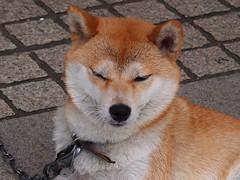 PA142173 (eriko_jpn) Tags: dog japanesedog shibainu momo