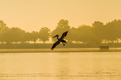 Pelican Turn (Mike Matney Photography) Tags: 2016 canon eos7d horseshoelake illinois midwest september bird birds lake nature pelican pelicans water wildlife pontoonbeach unitedstates us