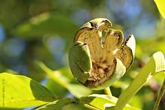 OKKERNOOT || WALNOOT || NOYER || WALNUT || WALNUSS || NOCI || NOZ || NOIX || NOGAL (Anne-Miek Bibbe) Tags: canoneos700d canoneosrebelt5idslr annemiekbibbe bibbe nederland 2016 tuin garden jardin giardino jardim natuur nature moestuin vegetablegarden giardinodiverdure jardinpotager gemsegarten horta walnoten walnuts walnsse noci nozes nueces noix okkernoot okkernoten juglansregia