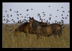 """The Birds"" (Lisa L Kee Photography) Tags: lisalkeephotography lisalkee canon canon7d nature wildlife horse wildhorse oklahoma longtermholding wildhorses ef100400mmf4556lisiiusm"