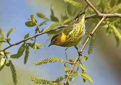 Cape May Consolation Prize (Hockey.Lover) Tags: capemaywarbler birds mageemarsh warblers explore
