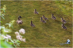 "Caneton ""2016"" (Christian Labeaune) Tags: 2016 faune oiseaux plumes christianlabeaune chtillonnais laseine canardcolvert chatillonsurseine21400 bourgognectedor france"