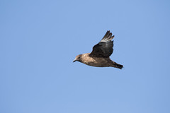 Great Skua #7 (scilly puffin) Tags: great greatskua pelagic sapphirepelagics islesofscilly