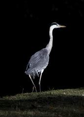 Heron, Regent's Park (IFM Photographic) Tags: img2760a canon 600d sigma70200mmf28exdgoshsm sigma70200mm sigma 70200mm f28 ex dg os hsm london westminster cityofwestminster city heron bird regentspark