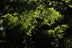 Buchenlicht (Fagus sylvatica); Bergenhusen, Stapelholm (61) (Chironius) Tags: stapelholm bergenhusen schleswigholstein deutschland germany allemagne alemania germania    ogie pomie szlezwigholsztyn niemcy pomienie gegenlicht grn laub rosids fabids buchenartige fagales buchengewchse fagaceae fagoideae buchen baum bume tree trees arbre  rbol arbres  rboles albero rotbuche  faia kayn beuken  bok  rvore aa boom trd fagus