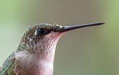 My Little Buddy (dshoning) Tags: macromonday hummingbird window macro