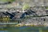 Pluvier argenté / Black-bellied Plover (Roy Yves) Tags: pluvier argenté yvesroy blackbelliedplover plover