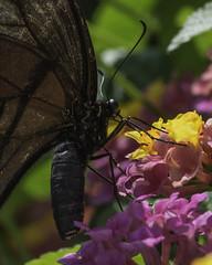 Butterfly_SAF0577-2 (sara97) Tags: butterfly copyright2016saraannefinke flyinginsect insect missouri nature outdoors photobysaraannefinke pollinator saintlouis towergerovepark urbanpark