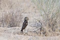 This Year's Crop -- Burrowing Owls (Athene cunicularia); Los Lunas, NM [Lou Feltz] (deserttoad) Tags: nature newmexico bird wildbird wildlife raptor owl desert behavior migration