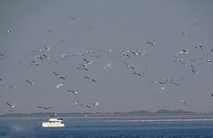 Opvliegende meeuwen bij de Oosterschelde (Omroep Zeeland) Tags: meeuwen oosterschelde