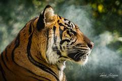 Joanne in the Mist (ToddLahman) Tags: joanne sumatrantiger canon7dmkii canon canon100400 tigers tiger tigertrail exhibitc sandiegozoosafaripark safaripark closeup profileheadshot profile