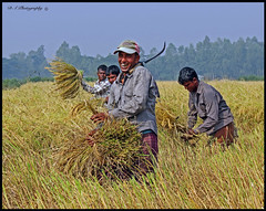 Migrant Workers-Khan Bari Rice Fields (dark-dawud) Tags: teeth portrait kalaborpur rice ricefields ricecrops hardwork happy migrantworker migrantworkers khanbari bangladesh bengali sylhet 2014