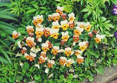 A pleasant roadside assemblage of flora (Jon-F, themachine) Tags: outdoors  nature  plants  flower flowers   plant flora jonfu 2016 olympus omd em5markii em5ii em5mkii em5mk2 em5mark2  mirrorless mirrorlesscamera microfourthirds micro43 m43 mft ft     snapseed japan  nihon nippon   japn  japo xapn asia  asian fareast orient oriental aichi   chubu chuubu