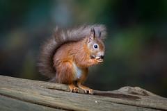 Fur Ball (raytaylor77) Tags: brownseaisland fir redsquirel wildlife branch cute nature possing wild england unitedkingdom gb