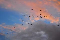Egrets in sunset sky (mattlaiphotos) Tags: nationalpark egret bird fly flying sky sunset twilight nature flock clouds soar birdwatching