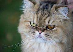 Odd-Eyed Cat (Pauline Brock) Tags: cat kitty catportrait heterochromia differentcoloreyes animal nature