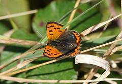 Small Copper (SteveJM2009) Tags: stevejm2009 stevemaskell lycaenaphlaeas smallcopper sunning basking durlston globe detail sun light undergrowth colour october 2016 autumn dorset uk abcaeruleopunctata naturethroughthelens