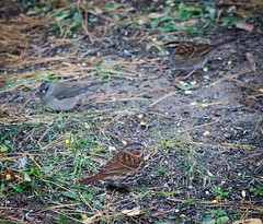 Sparrows (Wild Birdy) Tags: zonotrichia albicollis sparrow sparrows birds foraging ground junco darkeyedjunco whitethroated foxsparrow hyemalis passerella iliaca