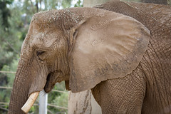 Elephant, San Diego Zoo (Photos By Clark) Tags: california canon60d canon70200f28isl cities locale location northamerica places sandiego sandiegogeneral sandiegozoowap unitedstates where zoo elephant