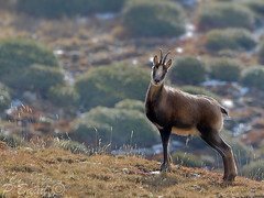 Isard qui pose (Patrice Baud) Tags: isard rupicapra cerdagne pyrnes montagne sauvage nikon nikond5100 300 mm wildlife nature mammifre