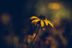 Sonnenhut (Sascha Wolf) Tags: blume knospe botanischergarten tbingen bokeh herbst