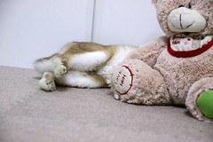 ICHIGO san 415 (mensore) Tags: rabbit bunny netherlanddwarf brown cute pet family ichigo