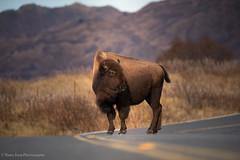 Where The Buffalo Roam- Kodiak (rishaisomphotography) Tags: buffalo bison wild ferrel wildlife wildlifephotography nature naturephotographer pasagshak alaska kodiak road roadsystem dof
