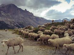Col du Lautaret (Vélocia) Tags: moutons cyclotourisme
