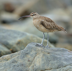 Hudsonian Whimbrel Numenius phaeopus hudsonicus (Mark Ferris wildlife Photography) Tags: wader cornwall perranuthnoe rock hudsonianwhimbrel