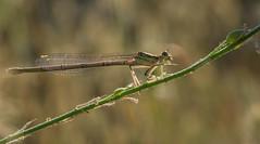 memories about summer 1 (nickneykov) Tags: nikond750 nikon d750 tamron 90mm dragonfly macro sun bulgaria kremikovci