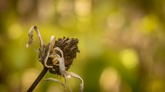 P1450440-1 (picicsoda) Tags: manual exakta natural autumn manuallens vintagelens closeup