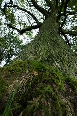 Lone Leaf on Oak Tree (Chris Lyle) Tags: woodland morning moss zeissloxia21mmf2 tree 4x6 growing westyorkshire seasons outdoor sonyilce7r countryside oak depthoffield