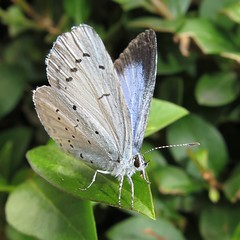 Holly Blue - Celastrina argiolus (Camerar) Tags: uk butterflies butterfly insect lycaenidae hollyblue celastrinaargiolus