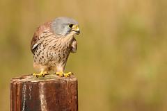 Kes (Alan Hinchliffe) Tags: kestrel bird birdofprey nature wildlife animal photography yorkshirewildlifepark doncaster southyorkshire uk canon7d 100400mm