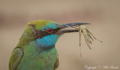 Green Bee-eater (Merops orientalis) (Mike Barth) Tags: green ngc npc beeeater merops orientalis naturesharmony