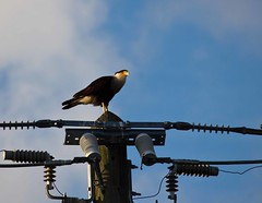 Nature vs Humans (BethHarcek - Back on Track) Tags: nature birds topv111 florida wildlife electricity habitat caracara verobeach indianriver humantechnology blinkagain bestofblinkwinners blinksuperstars bestofsuperstars