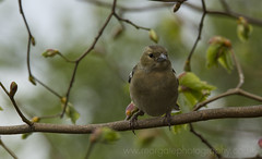 Female Chaffinch 2 (richnorgate) Tags: finches digiscoping birdwatching britishwildlife wildlifetrust gardenbirds wildbirds attenboroughnaturereserve birdphotography wildlifephotography finchbirds femalechaffinch britishwildlifetrust chaffinchbird birdsofbritian nottinghamwildlife welbeckraptorpoint ukbirdwatching