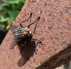 Flesh fly (Durley Beachbum) Tags: fly diptera sarcophagacarnaria
