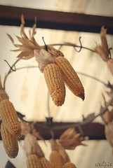 Mais/ sweetcorn (wulpix) Tags: food nature yellow vintage corn essen natur retro mais gelb maize poaceae sweetcorn zea mealies futter poales