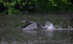 Cormorant in the rain (dreamhorseranch) Tags: rain birds hamburg wandsbek 2013 eichtalpark cormoranat