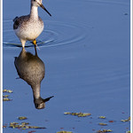 Tringa flavipes - Lesser yellowlegs thumbnail