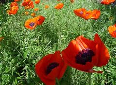 Poppy (SabineausL) Tags: red plant flower green rot blossoms pflanze pflanzen panasonic poppy grn blume blten mohn panasonicdmctz4 sabineausl