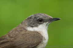 Lesser Whitethroat (J.M.N.) Tags: sweden skane krankesjon