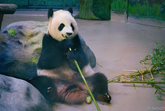 Panda eats again (Sacha 2D) Tags: leica toronto ontario canada animals zoo panda pandas torontozoo leicam8 leicaelmarm50mmf28 lensblr photographersontumblr