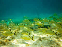 A Sea of Yellow (RoamingTogether) Tags: canon snorkeling bahamas grunt bluestripedgrunt haemulidae greatstirrupcay haemulonsciurus powershotsd1300is