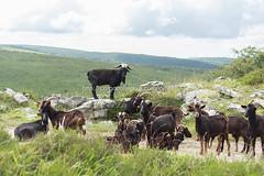 Valle de Mena (20) (cynefin_) Tags: httpcargocollectivecomcynefin valle de mena merindades burgos castilla y len villasana cynefin cabras animales paisaje naturaleza